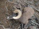 sheep 2012 110.jpg