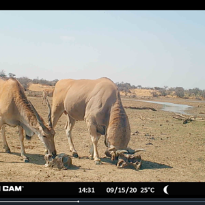 Eland bull at Zana Botes Safari