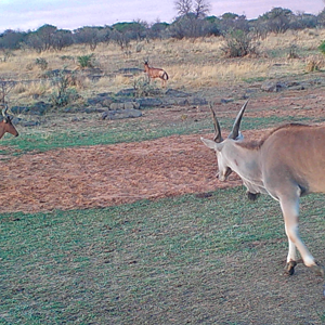 Cape Eland and Red Hartebeest