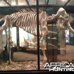 African Elephant Skeleton