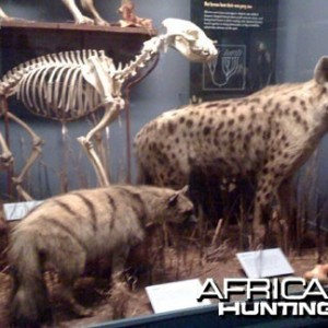 Taxidermy Aardwolf & Spotted Hyena