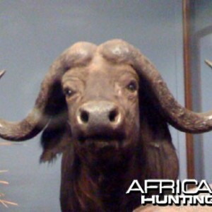 Taxidermy Cape Buffalo