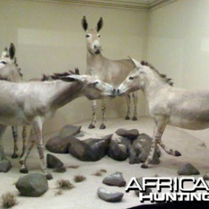 Taxidermy African Wild Ass