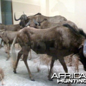 Taxidermy Black Wildebeest
