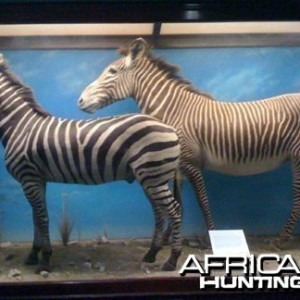 Taxidermy Burchell's & Grevy's Zebra