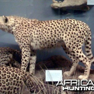 Taxidermy Cheetah