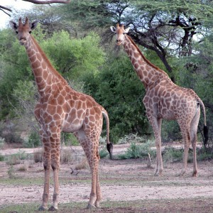Africa Namibia couple of Giraffes