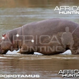 Hunting Hippopotamus Shot Placement