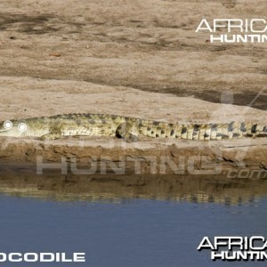 Hunting Crocodile Shot Placement