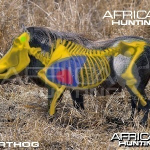 Bowhunting Warthog Shot Placement