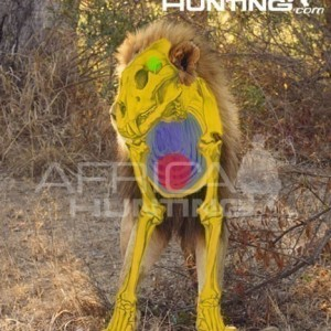Bowhunting Lion Front View Shot Placement