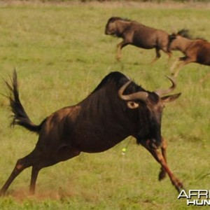 Bowhunting Wildebeest