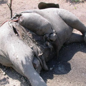 Elephant Poaching Pandemic in Central Africa