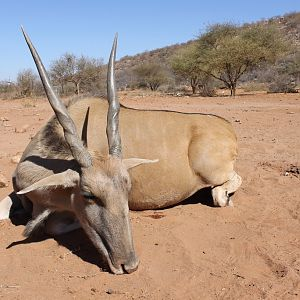 Hunt Eland Cow in Namibia