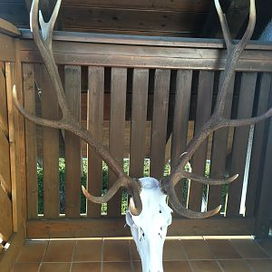 Red Stag European Skull Mount