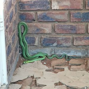 Green Mamba Limpopo South Africa