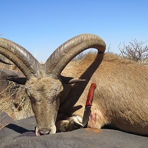 Hunt Aoudad in Northern Cape South Africa