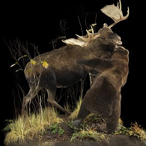 Bear vs. Moose full mount taxidermy