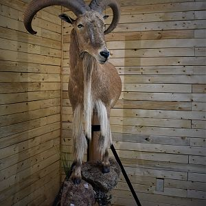 Aoudad Half Body Mount Taxidermy