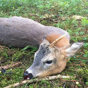 Roe Buck Hunt Germany