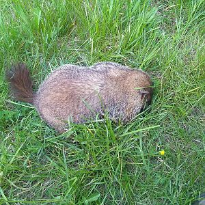 USA Hunting Groundhog