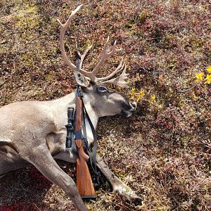 Hunt Caribou in Alaska USA