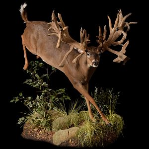 Whitetail Deer Full Taxidermy Mount