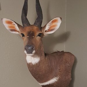 Corner hanging floating a Bushbuck Wall Pedestal Taxidermy