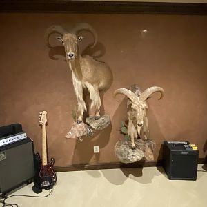 Half Body Aoudad Mount Taxidermy