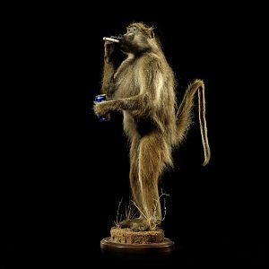 Baboon Full Mount Taxidermy