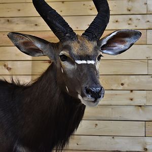 Nyala Wall Mount Taxidermy