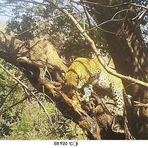 Trail Cam Pictures of Leopard in Zambia