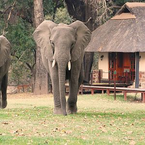 Elephant & Impala's at the lodge Zambia