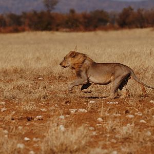 Lion in Etosha National Park Namibia