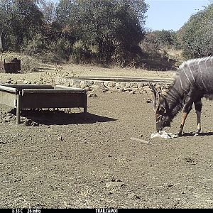 Trail Cam Pictures of Blue Wildebeest & Nyala in South Africa