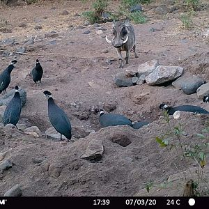 Trail Cam Pictures of Crested Guineafowl & Warthog in Zambia