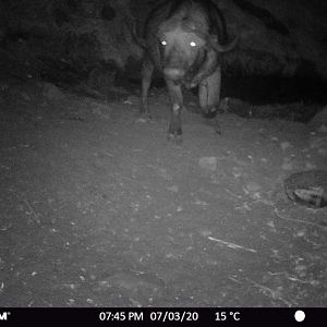 Zambia Trail Cam Pictures Buffalo