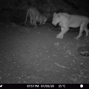 Trail Cam Pictures of Lions in Zambia