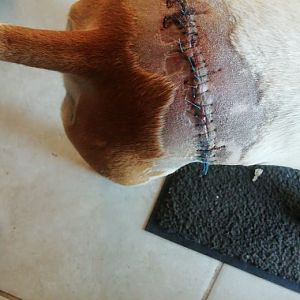 Tracking dog after getting hit by a Bushbuck
