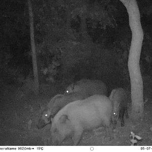 Trail Cam Pictures of Bushpig in South Africa