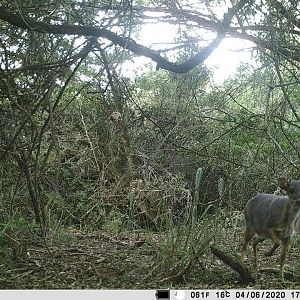 South Africa Trail Cam Pictures Blue Duiker