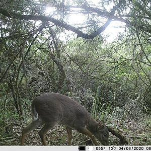 Trail Cam Pictures of Blue Duiker in South Africa