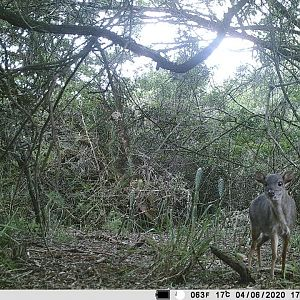 Blue Duiker Trail Cam Pictures South Africa