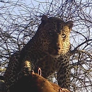 Leopard Hunting Part 1 Bullet Safaris
