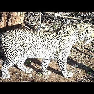 Leopard Hunting Part 2 Bullet Safaris