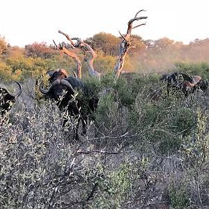Limpopo Buff return to the death below