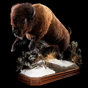 Bison Full Mount Taxidermy
