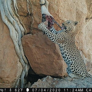Namibia Trail Cam Pictures Leopard