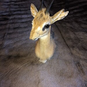 Damara dik-dik Shoulder Mount Taxidermy