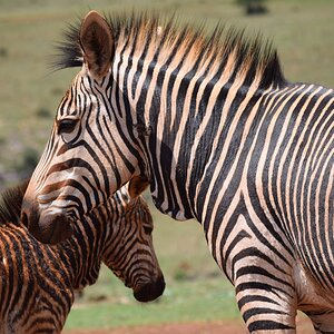 Burchell's Plain Zebra South Africa